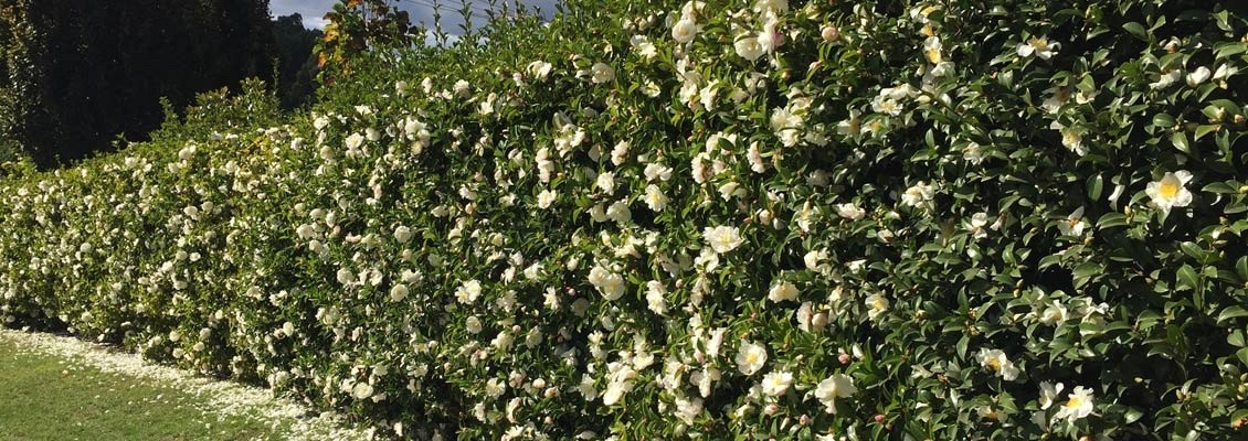Camellias for hedging
